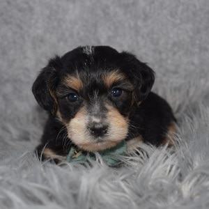 Yorkiepoo Puppy For Sale – Jessup, Male – Deposit Only