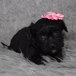 Yorkiepoo Puppy For Sale – Josie, Female – Deposit Only