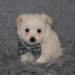 Maltipom Puppy For Sale – Koy, Male – Deposit Only