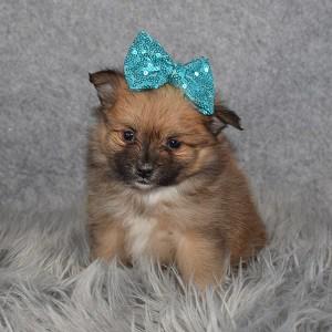 Pomeranian Puppy For Sale – Skyla, Female – Deposit Only
