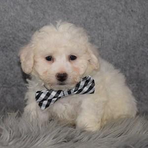 Bichon Puppy For Sale – Dallas, Male – Deposit Only