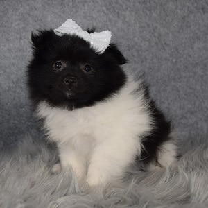 Eskipom Puppy For Sale – January, Female – Deposit Only