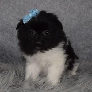 Eskipom Puppy For Sale – Winter, Female – Deposit Only
