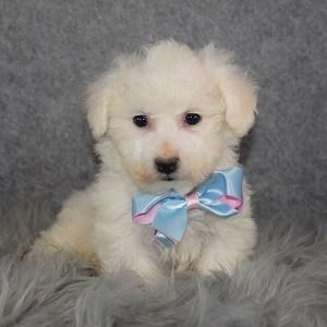 Bichon Puppy For Sale – Antonio, Male – Deposit Only