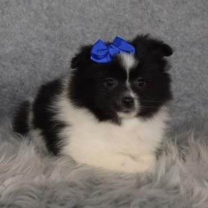 Eskipom Puppy For Sale – July, Female – Deposit Only