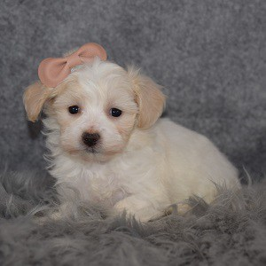 Maltichon Puppy For Sale – Lake, Female – Deposit Only