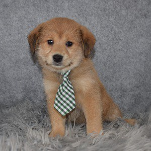 Shibapoo Puppy For Sale – Macaroni, Male – Deposit Only