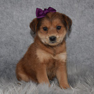 Shibapoo Puppy For Sale – Ziti, Female – Deposit Only