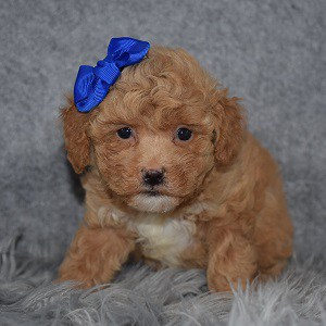 Bichonpoo Puppy For Sale – Annalise, Female – Deposit Only