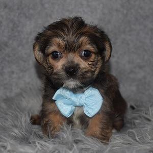 Shorkie Puppy For Sale – Sloan, Male – Deposit Only